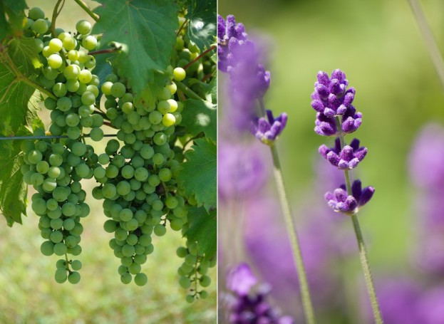 Kosmetyki Biolaven bazują na olejku lawendowym oraz oleju z pestek winogron